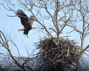Park Commission Offers In-Person and Virtual Programs to Help Public Keep 'Eyes on Eagles'